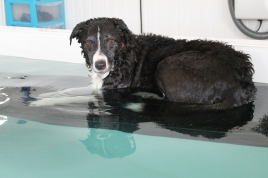 I have no shame in telling you this is one of my all time Favourite dogs. Harvey was one of the first dogs I ever swam and he's taken a piece of my heart. Although I still can't convince him not to sit the wrong way on the ramp, I suppose it's a Collie thing as other collies do this too.