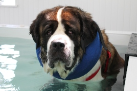 Yes we even swim them this big. Jasper is a gentle giant and a perfect gentleman and we love him.
